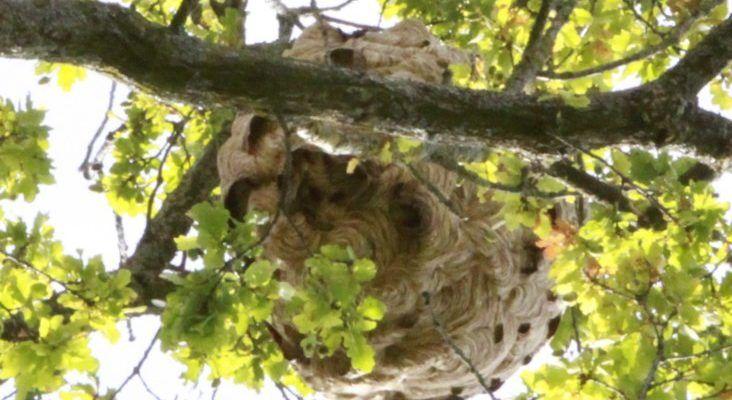 nid frelon asiatique